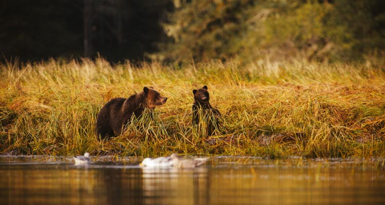 Two bears sit among yellow plants along the water's edge.
