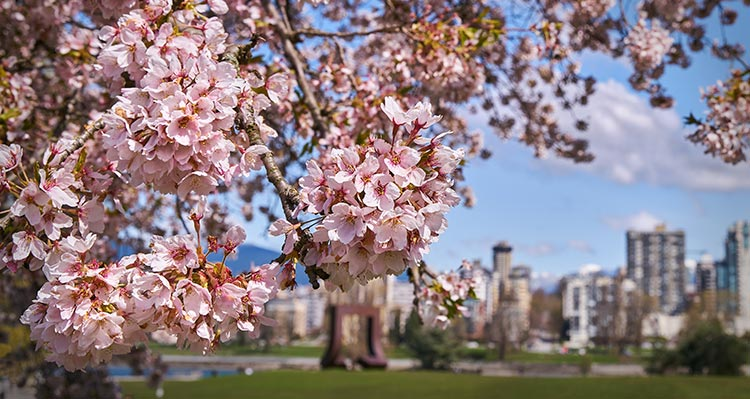 Pink cherry tree blossoms in a park near a cityscape.
