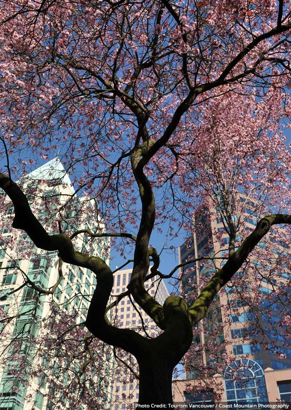 A pink flowered Cherry Tree below glass apartment buildings.