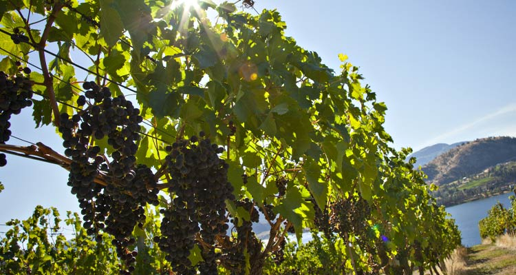 A close up view of grapes growing on a sunny vine in a long vineyard row.