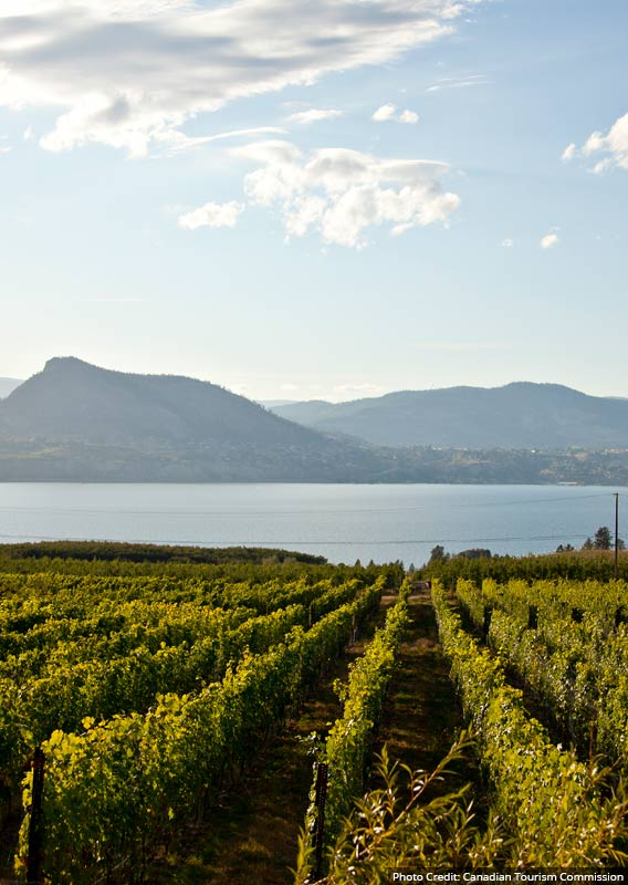 A vineyard in rows above a blue lake with a view across to mountains.