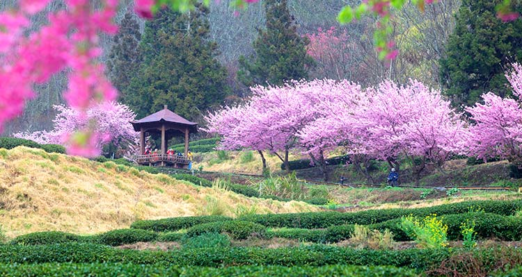 A view of a farm with pink cherry blossoms on trees