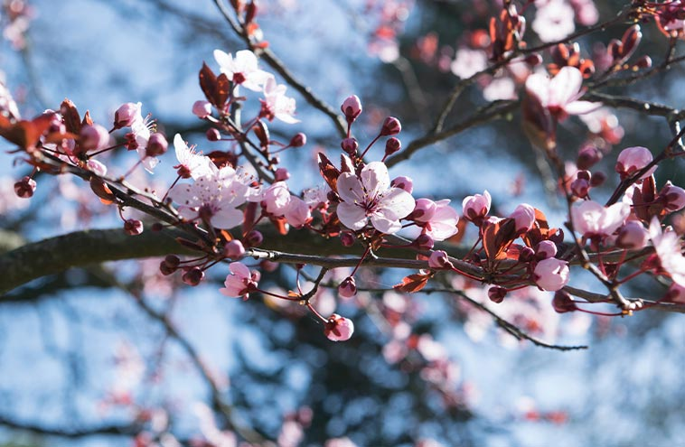 Where To See Cherry Blossoms In Vancouver Best Places Feb To May